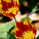 Fiery Tulips Digital File Flower Photo 5x7