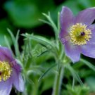 Macro Pulsatilla Pasque Flower Digital File Photo 5x7