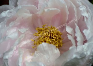 Macro Pink Peony Petals Flower Digital File Photo 5x7