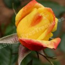 Yellow And Orange Macro Rosebud Digital File Flower Photo 5x7