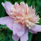 Pale Pink Peony In Bloom Flower Digital File Photo 5x7