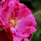 Macro Vibrant Pink Rose In Bloom Digital File Flower Photo 5x7