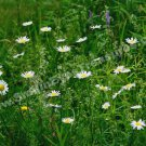 Wild White Daisies In Field Digital File Flower Photo 5x7