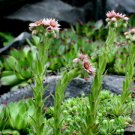 Flowering Hens And Chicks Succulents Digital Nature Photo 5x7