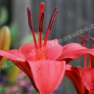 Macro Dark Orange Lily Digital File Flower Photo 5x7