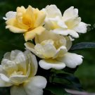 Yellow Roses Digital File Flower Photo 5x7