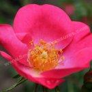 Macro Pink Rose In Bloom Digital File Flower Photo 5x7