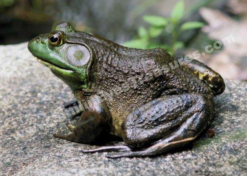 Big Old Bullfrog Digital File Nature Photo 5x7