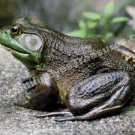 Big Old Bullfrog Digital File Nature Photo 5x7