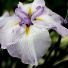 Pale Purple Japanese Iris Digital File Flower Photo 5x7