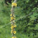 Wild Yellow Mullein In Bloom Digital File Flower Photo 5x7