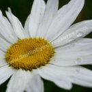 Dazzling White Daisy Digital File Flower Photo 5x7