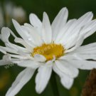 Delightful White Daisy Digital File Flower Photo 5x7