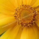 Macro Yellow Daisy Petals Digital File Flower Photo 5x7