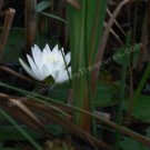 Glowing White Water Lily Digital File Flower Photo 5x7