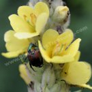 Beetle On Yellow Mullein Digital File Flower Photo 5x7
