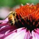 Macro Honey Bee On Coneflower Digital File Flower Photo 5x7