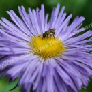 Tiny Bee On Purple Daisy Digital Printable Flower Photo 5x7