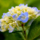 Sweet Blue Hydrangea Digital Printable Flower Photo 5x7