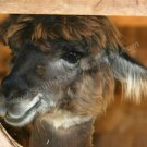 Cute Brown Llama Face Digital Printable Farm Animal Photo 5x7