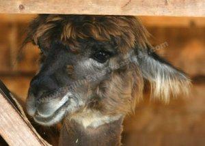Cute Brown Llama Face Digital Printable Farm Animal Photo 5x7