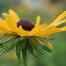 Macro Black Eyed Susan Digital Printable Flower Photo 5x7