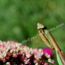 Praying Mantis On Flower Digital File Nature Photo 5x7