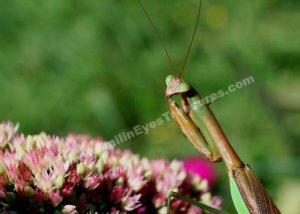 Praying Mantis On Flower Digital File Nature Photo 5x7
