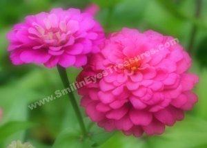 Pink Zinnias Digital Printable Flower Photo 5x7