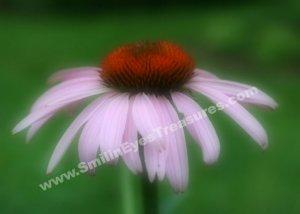 Pink Coneflower Digital Printable Flower Photo 5x7