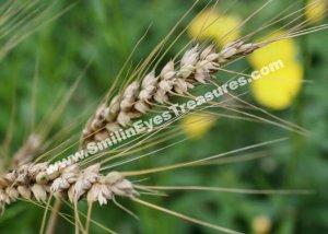 Macro Dried Grass Digital Printable Nature Photo 5x7