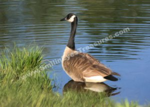 Canada Goose Digital Printable Photo Painting 5x7