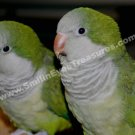 Baby Quaker Parrot Pair Digital Printable Animal Photo 5x7