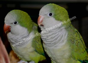 Baby Quaker Parrot Pair Digital Printable Animal Photo 5x7
