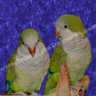 Baby Quaker Parrot Pair #2 Digital Printable Animal Photo 5x7