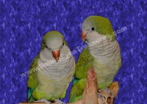 Baby Quaker Parrot Pair #2 Digital Printable Animal Photo 5x7