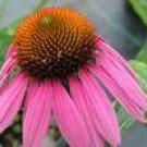 Echinacea Herbal Extract