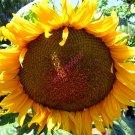 EDIBLE GIANT SUNFLOWER SEEDS GIANT BIG FLOWER X 40