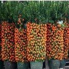 50pcs Hot Sale Kumquat bonsai Orange Balcony Patio Potted Lots Fruit Tree Tasty Juicy Orange bonsai