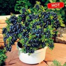 BLUEBERRY SEEDS BLACK PEARL BLUEBERRIES DIY 200 SEEDS
