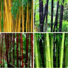 RARE GIANT BAMBOO PHYLLOSTACHYS PUBESCENS 40 SEEDS
