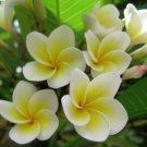 50 POACHED EGG FLOWER SEEDS FLOWER ORNAMENTAL