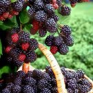 200 Black Mulberry Seeds Morus Nigra Tree Garden Bush