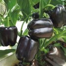 Chocolate Black Pepper 4 Season Garden Terrace 200 seeds
