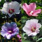 100 pcs Hibiscus syriacus, Althaea , Rose Mallow Ketmie, Hardy Shrub,