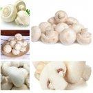 200 Pcs Delicious White Mushroom bonsai Green Vegetables Bonsai plant Very Easy To Grow For Home