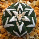 200 Pcs Rare Living Stones Mix Lithops   Blooming Flower Succulent Cactus  variety 1