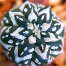 200 Pcs Rare Living Stones Mix Lithops   Blooming Flower Succulent Cactus  variety  5