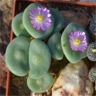 200 Pcs Rare Living Stones Mix Lithops   Blooming Flower Succulent Cactus  variety  9
