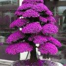 Rare Tree bonsais Bonsai Plant JAPANESE Cedar X 100 Seeds Variety  2